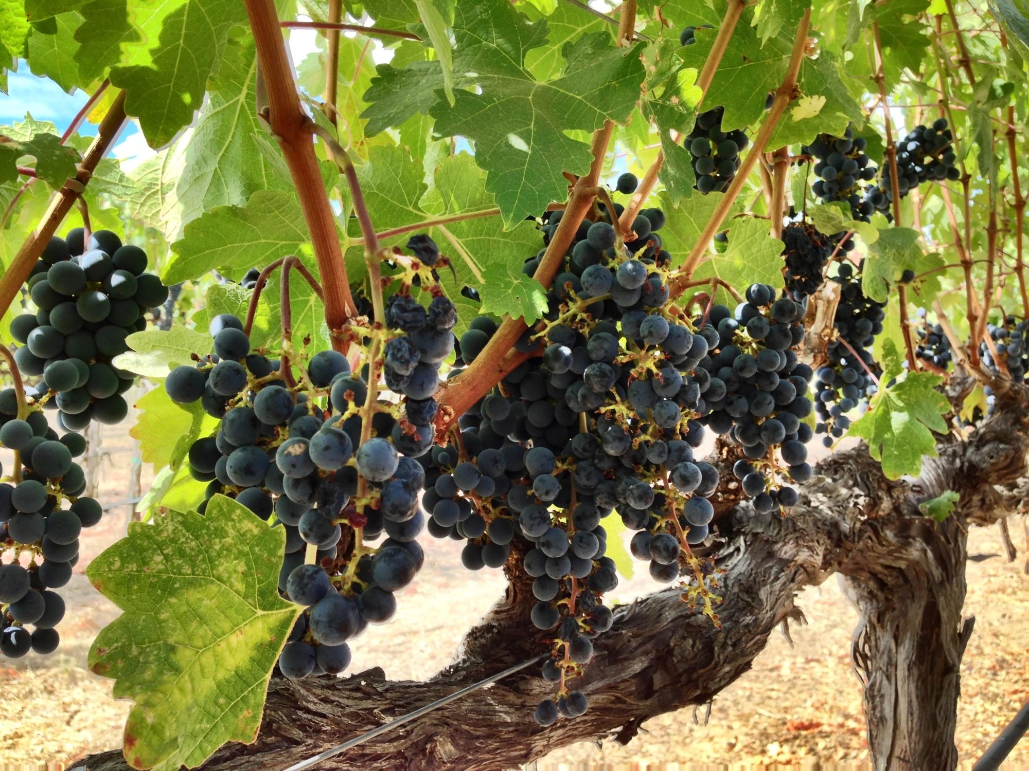 mumm-grape